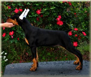 Logres' Black Caviar - at 11 weeks