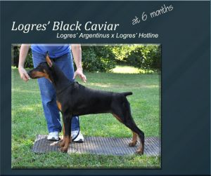 Logres' Black Caviar - at 6 months