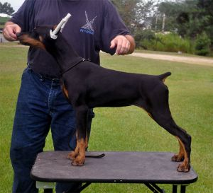Shutterfly at 6 months -sired by Ch,. Foxfire All Star out of Ch. Logres' Matiné