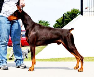 Ch. Logres\' Contucci WAC, RA, ROM by Ch. Trotyl de Black Shadow out of Logres\' Brentina