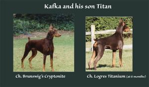 comparison of Ch. Brunswigs Cryptonite & his son Ch. Logres' Titanium