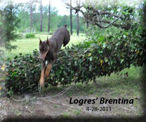 Logres Brentina