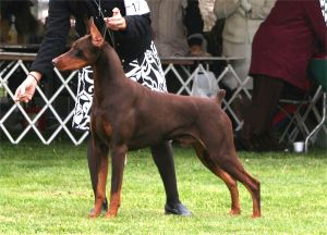 Ch. Logres' Contender -  by Ch. Trotyl De Black Shadow out of Logres' Brentina