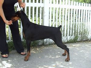 this is Harlow at about 6 months, she is sired by Ch. Logres' Contender out of Ch.Marquis Yes I Am Bewitching