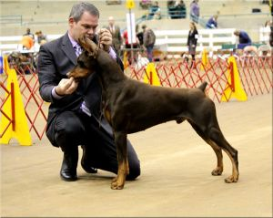 BISS Ch, Logres' Ramiro by Ch. Cambria's Omen out of Logres' Butterfly Flip