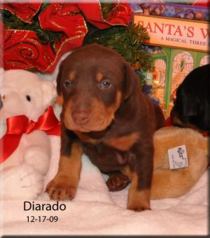 Ch. Logres' Diarado as a puppy... sired by Ch. Logres' Warkant