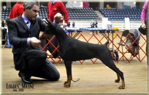 Ch. Logres' Matiné - sired by  Ch. Logres' Titanium  out of Logres' Butterfly Flip